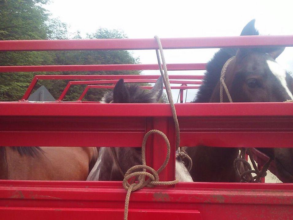 caballos4