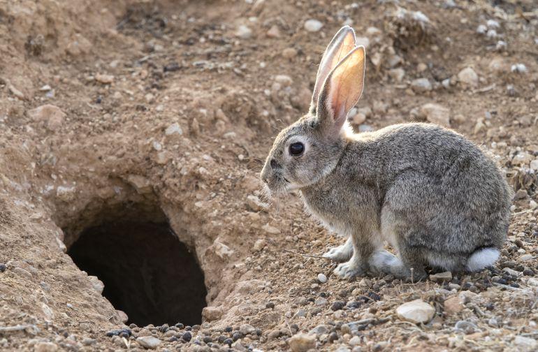 conejos de castilla